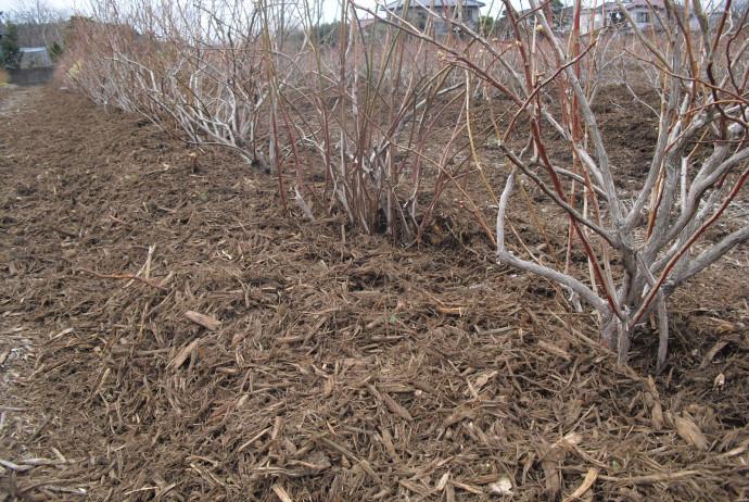 ブルーベリー植付事例 ブルーベリー農園造園