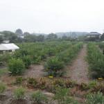 無料でブルーベリーつみとり園つくります